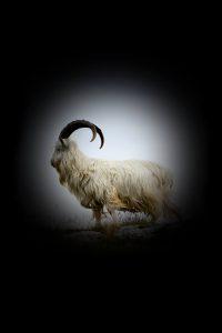 Cashmere goat Mongolia